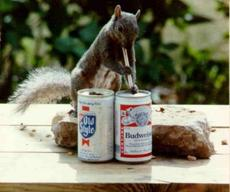 squirrel drinking beer