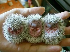 baby hedgehogs