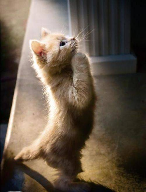 praying kitten
