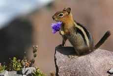Chipmunk with a purple flower
