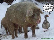 boar and duck