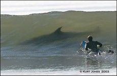 man surfing sees shark